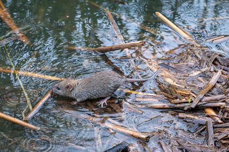 Brown rat, Rattus norvegicus, foraging amongst undergrowth Stockfoto