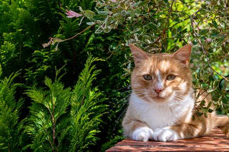 Ginger cat resting on garden wall in dappled sunlight
