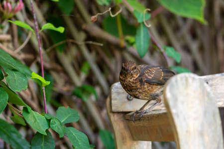 Juvenile blackbird, turdus merula, perched on a garden wooden fence Stockfoto