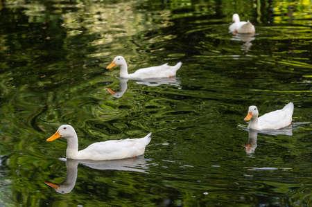 Flock of white indian runner ducks