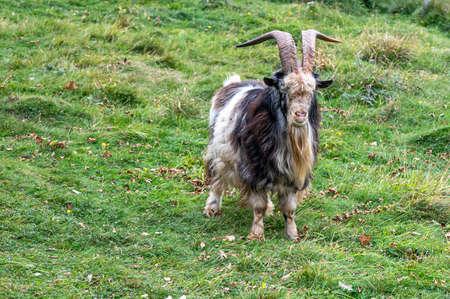 Wild British Primitive Feral Goat in the Mendip Hills, Somerset