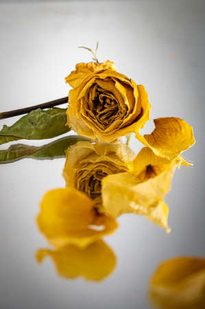 Isolated single dried rose flower with reflection