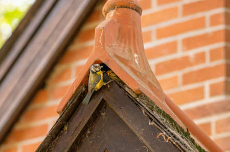 Bluetit chicks in a roof nest
