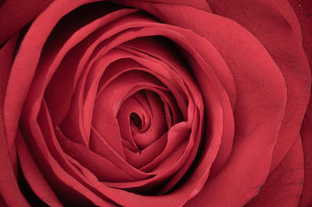 Centre of a single red rose flower