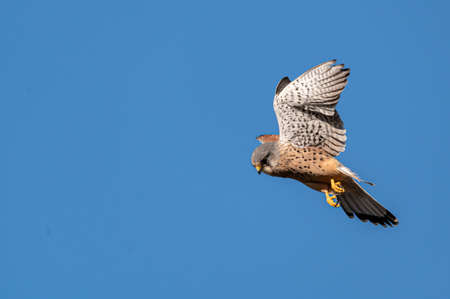 Male kestrel bird of prey, Falco tinnunculus, in flight hunting for prey