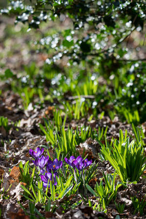 Signs of spring with wild purple crocus flowers, early bluebell flower shoots and winter holly leaves