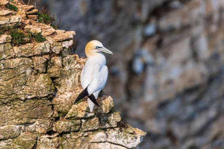 Gannet sea bird, morus bassanus, relaxing on a cliff edge Stock fotó