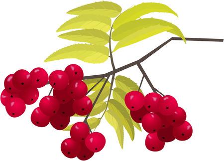 ashberry brunch Vector