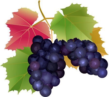 cluster: cluster of grapes with leaves