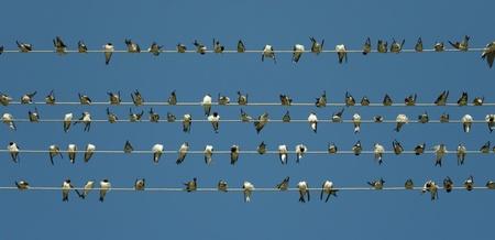 bandada pajaros: Muchas aves sentado, cantando y acicalándose juntos. Hacer cosas juntos es mejor que hacerlo solos.