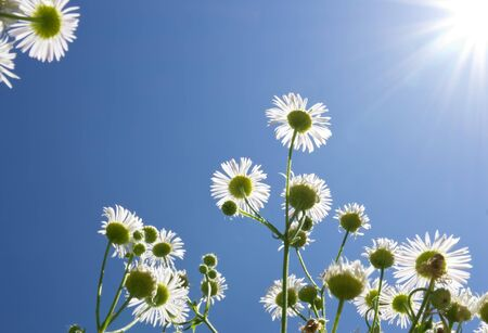 White field flowers with blue sky and sun. They are in backlight