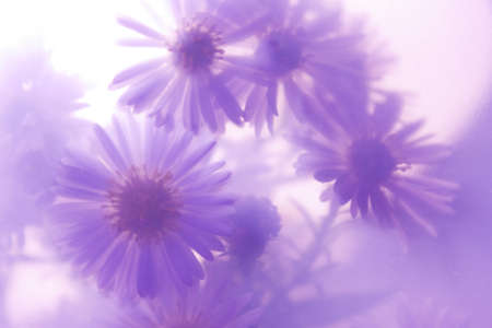wild daisies on a purple background photo