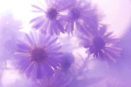 wild daisies on a purple background