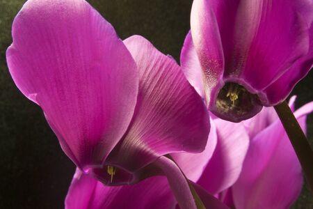 Cyclamen Purple a Flower Cyclamen Purple