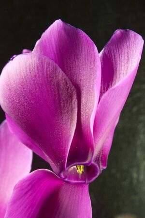 particular of a flower cyclamen purple Stock Photo