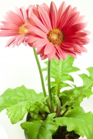 gebera: particular of a flower of rose gebera Stock Photo
