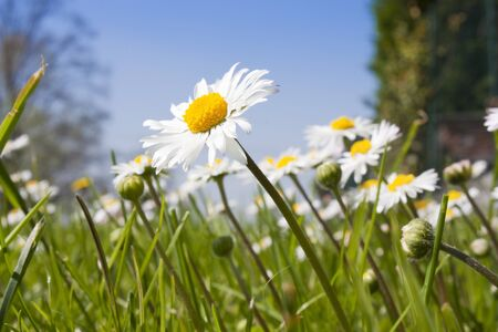 wild daisies in a field of grass
