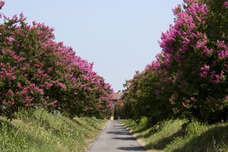 street with rows of shrubs with flowers fuchsia Stock Photo