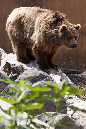 arctos: mammifero orso bruno Ursus arctos