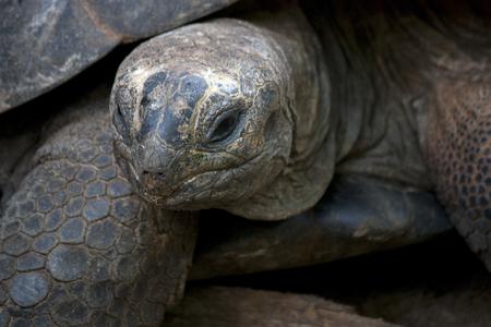 land turtle: tortoise land turtle reptile amphibian