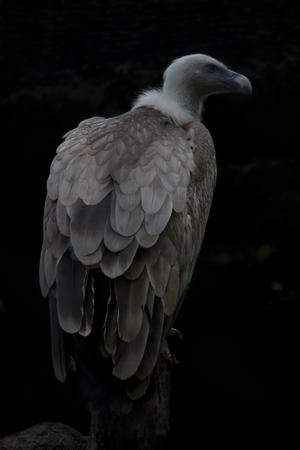 accipitridae: griffon vulture Gyps fulvus family Accipitridae