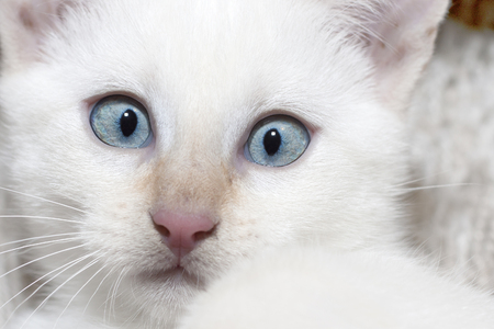 big blue eyes and a nose of white cat