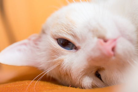 European white cat asleep snout