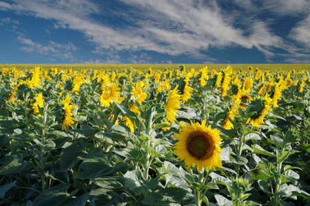 One sunflower in the field looking the other way Stock Photo - 4352495