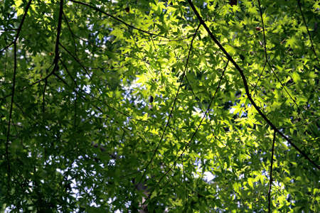 Relax in the shade as the sun shines through the maple leaves in spring photo