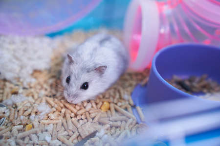 A white Dzungarian hamster in a multicolored cage with pipes, a wheel, a bowl of food, filler, and cotton sits in the pipe and looks curiously