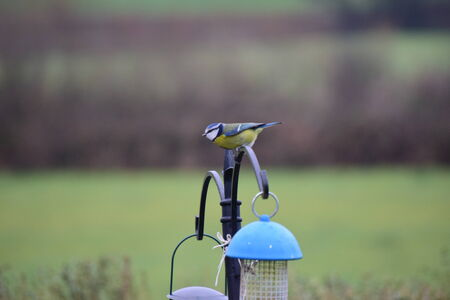 caeruleus: Blue tit, Parus caeruleus, single bird Stock Photo