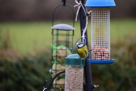 caeruleus: Tit azul, Parus caeruleus, ave �nica