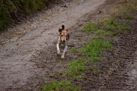 proficient:   proficient foxhound Stock Photo