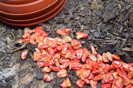 sweetcorn: sweetcorn seeds Stock Photo