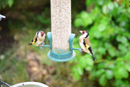 goldfinch: Goldfinch Carduelis carduelis  bird