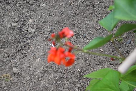 runner bean: Runner Bean plants