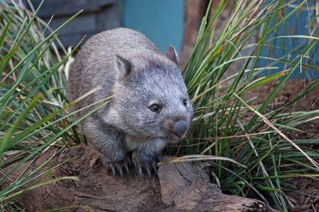Wombat in between grass