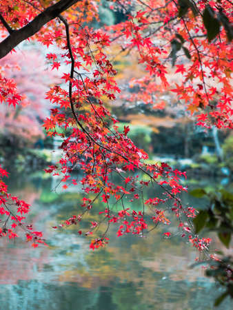 Red japanese maple leaf above the water.