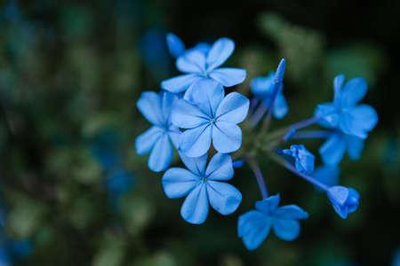 Blue daze flowers on dark green blurry background. 版權商用圖片