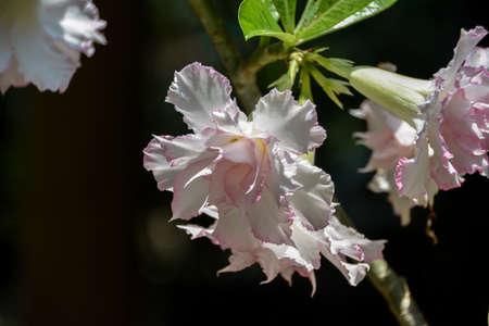 rose of the desert: Deserto Rosa Bianca Fiore