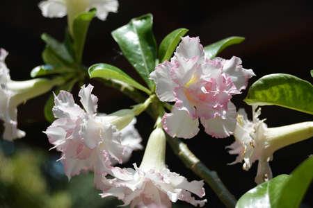 desert rose: White Desert Rose Flower