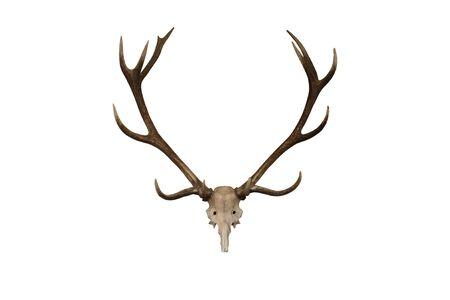 A Display Set of Deer Antlers.