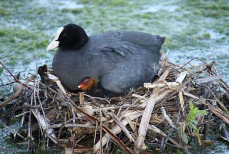 coot: A Mother Coot Bird with a Chick on the Nest. Stock Photo