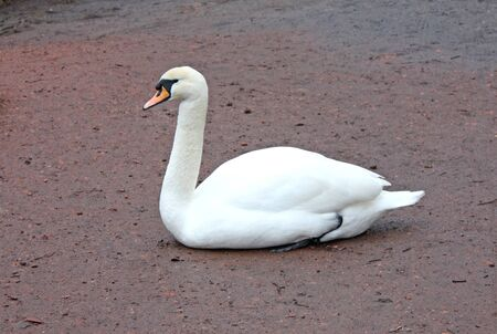webbed: A Majestic Swan sat on a Muddy River Bank. Stock Photo