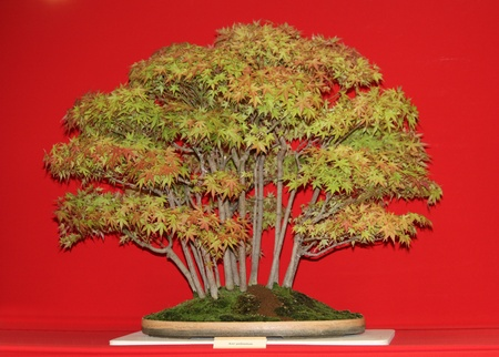 palmatum: A Decorative Acer Palmatum Bonsai Miniature Tree. Stock Photo