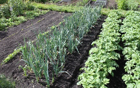 The Layout in Part of a Flourishing Vegetable Garden.