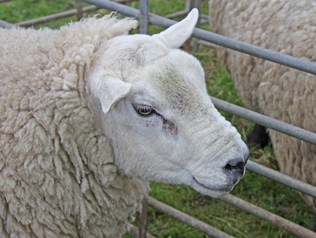 A Serious Looking Sheep with a Thick Wool Fleece. photo