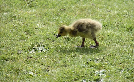 gosling: A Cute Baby Gosling Walking on Grass. Stock Photo