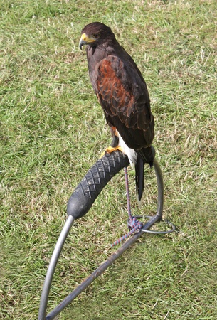 tethered: A Harris Hawk Bird of Prey Tethered to a Stand. Stock Photo