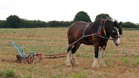 plough machine: A Shire Horse Pulling a Vintage Farming Plough